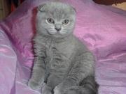 Котята шотландской вислоухой голубые