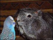 Приму в дар морскую свинку или(и) попугая и средства ухода за ними, кле