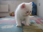 Котёнок (кошечка) белая экзотическая