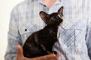 Продается ориентальный котенок